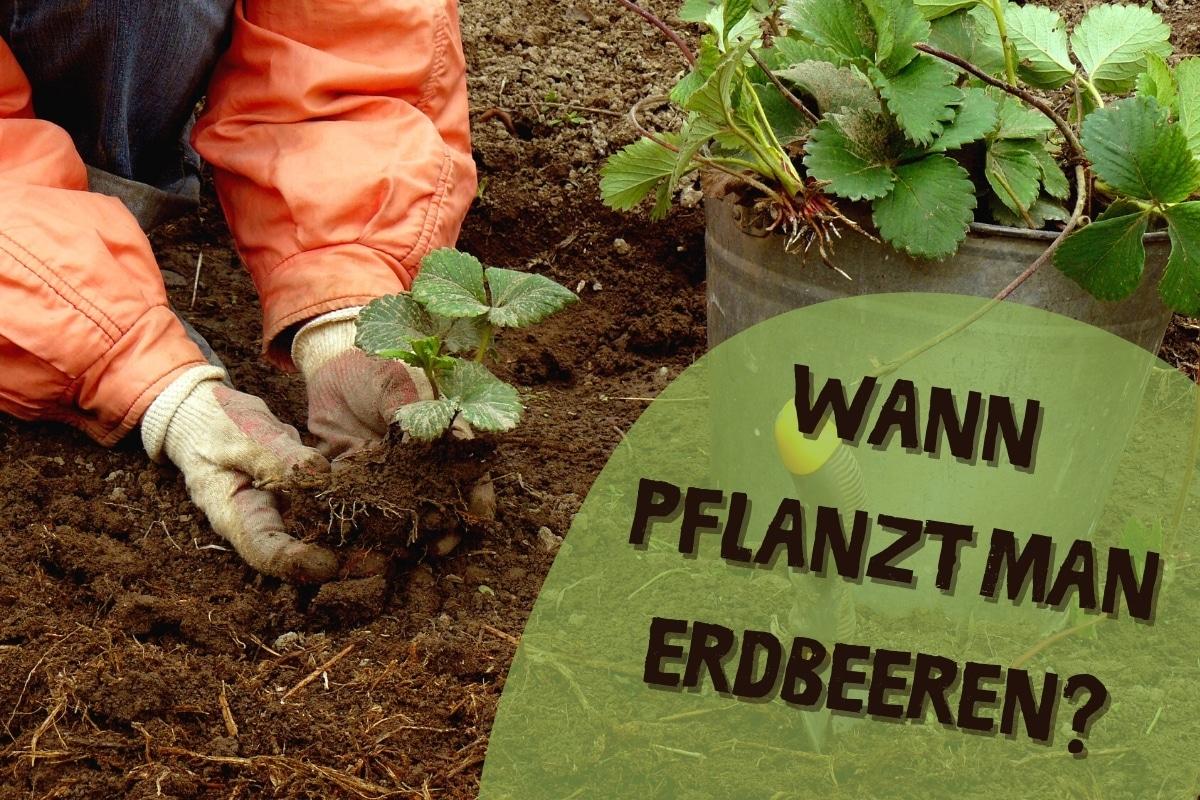 Wann pflanzt man Erdbeeren - Titel