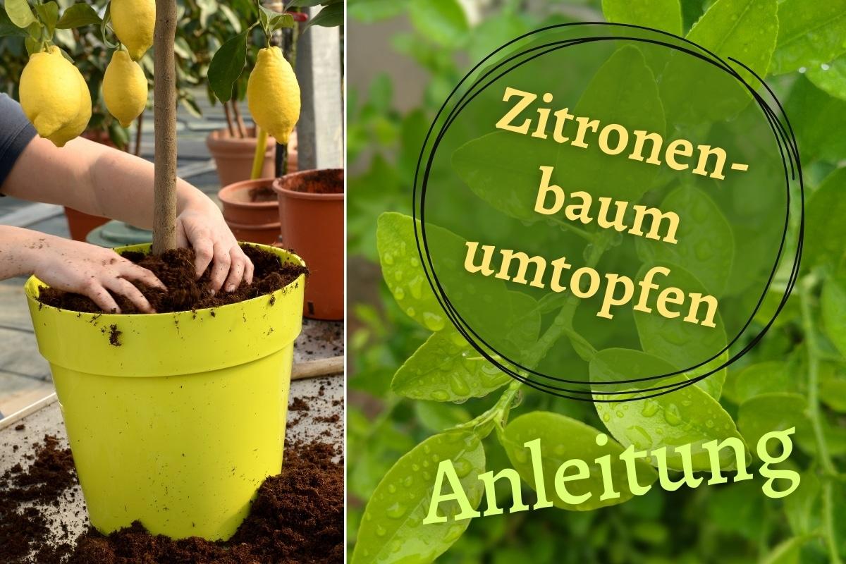 Zitronenbaum umtopfen - Titel