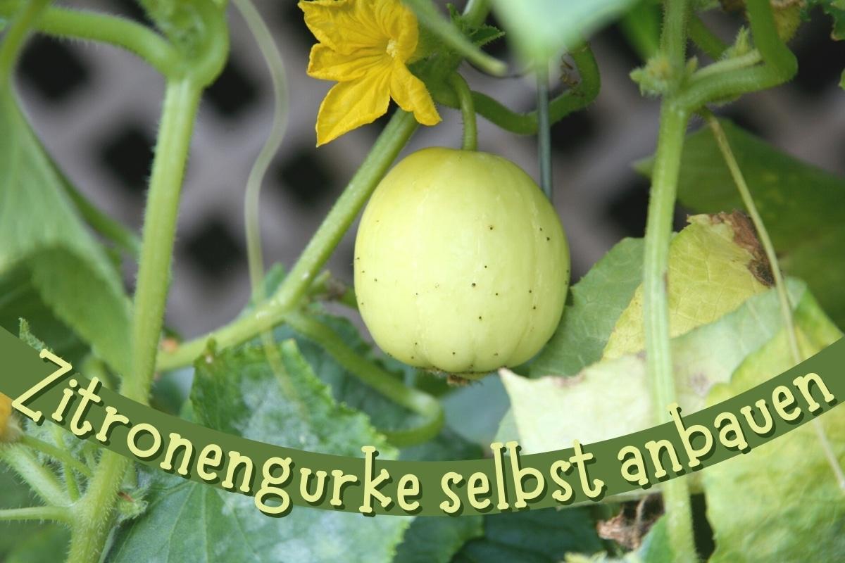 Zitronengurken anbauen - Titel