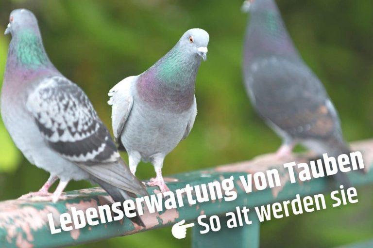 Wie alt werden Tauben - Stadttauben
