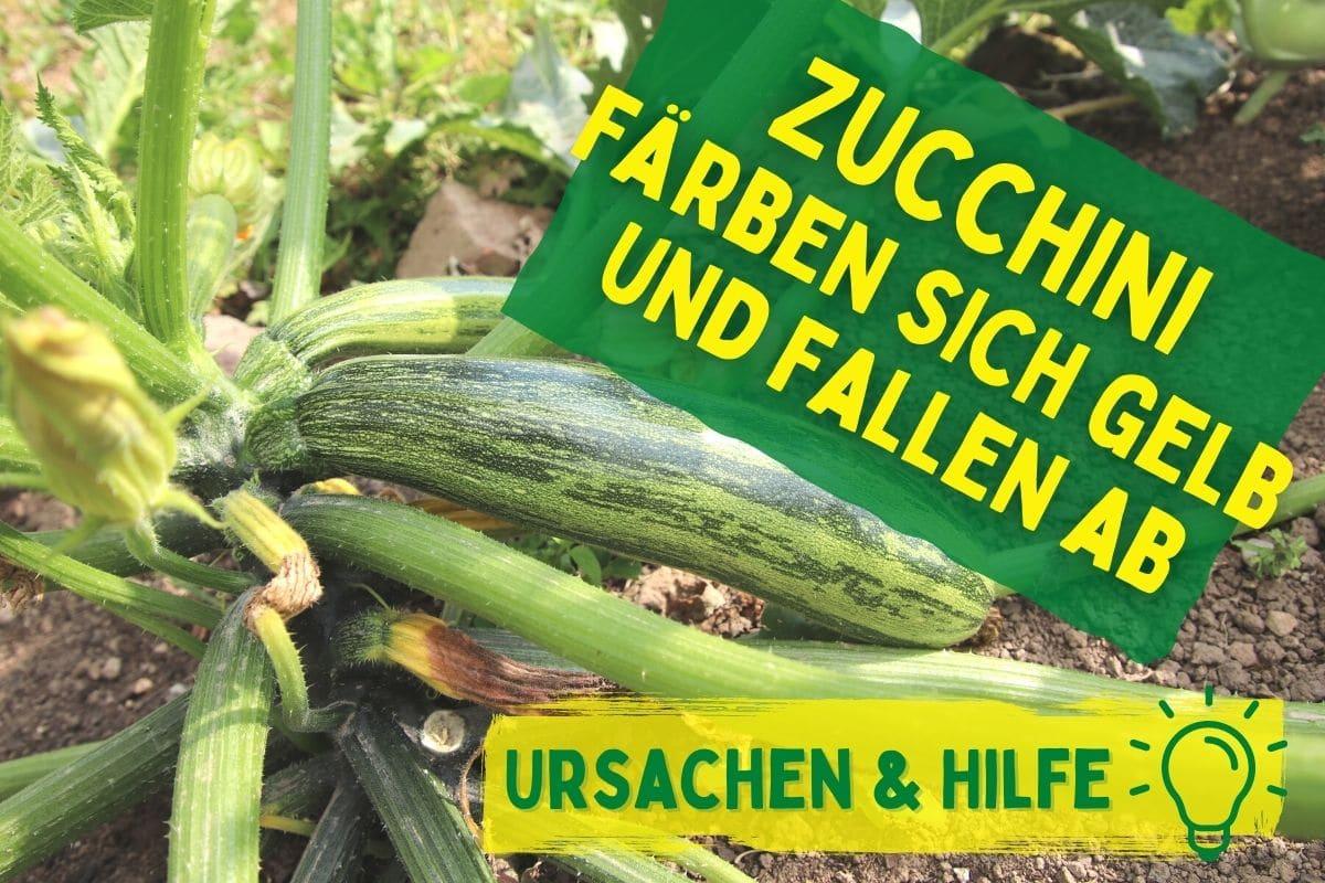 Zucchini-Früchte werden gelb und fallen ab