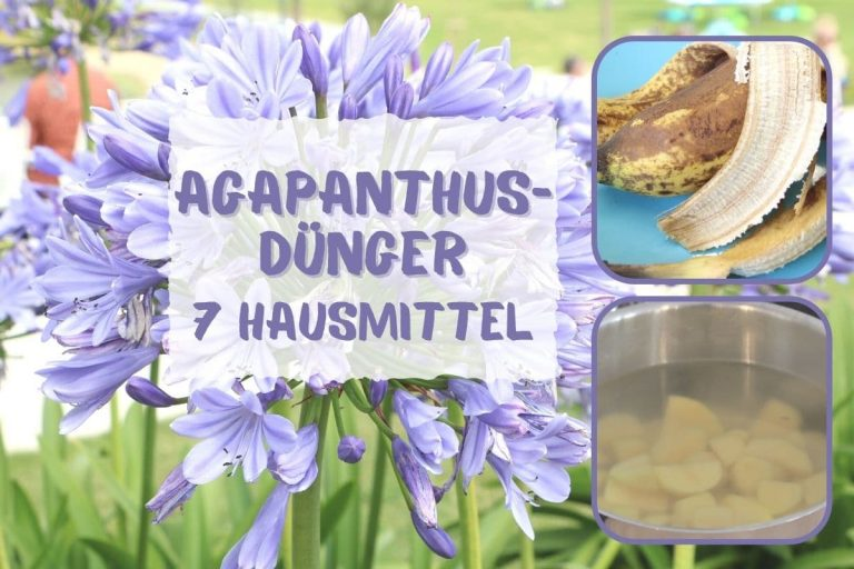 Agapanthus düngen
