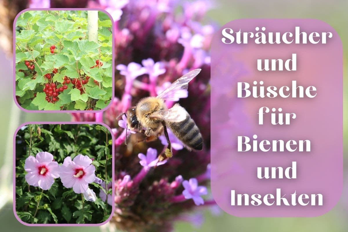 Bienensträucher