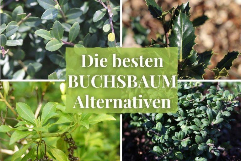 Buchsbaum-Alternativen