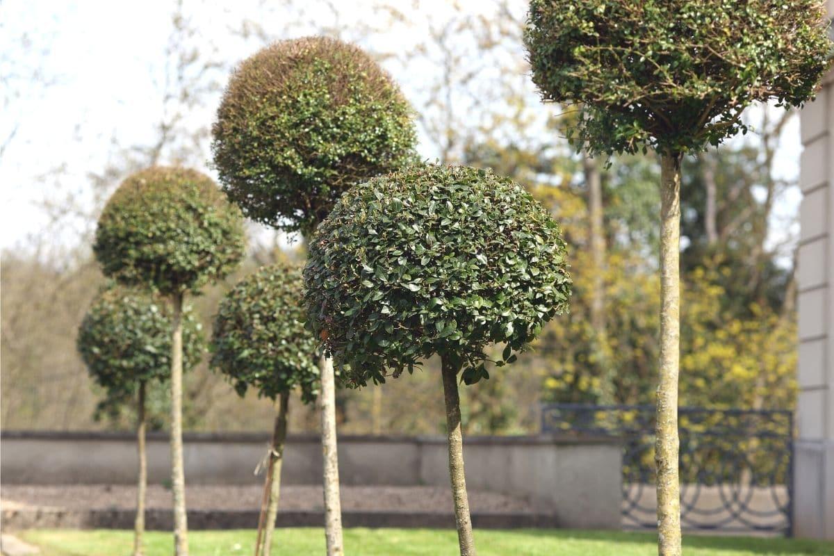 giftige Bäume: Buchsbaum