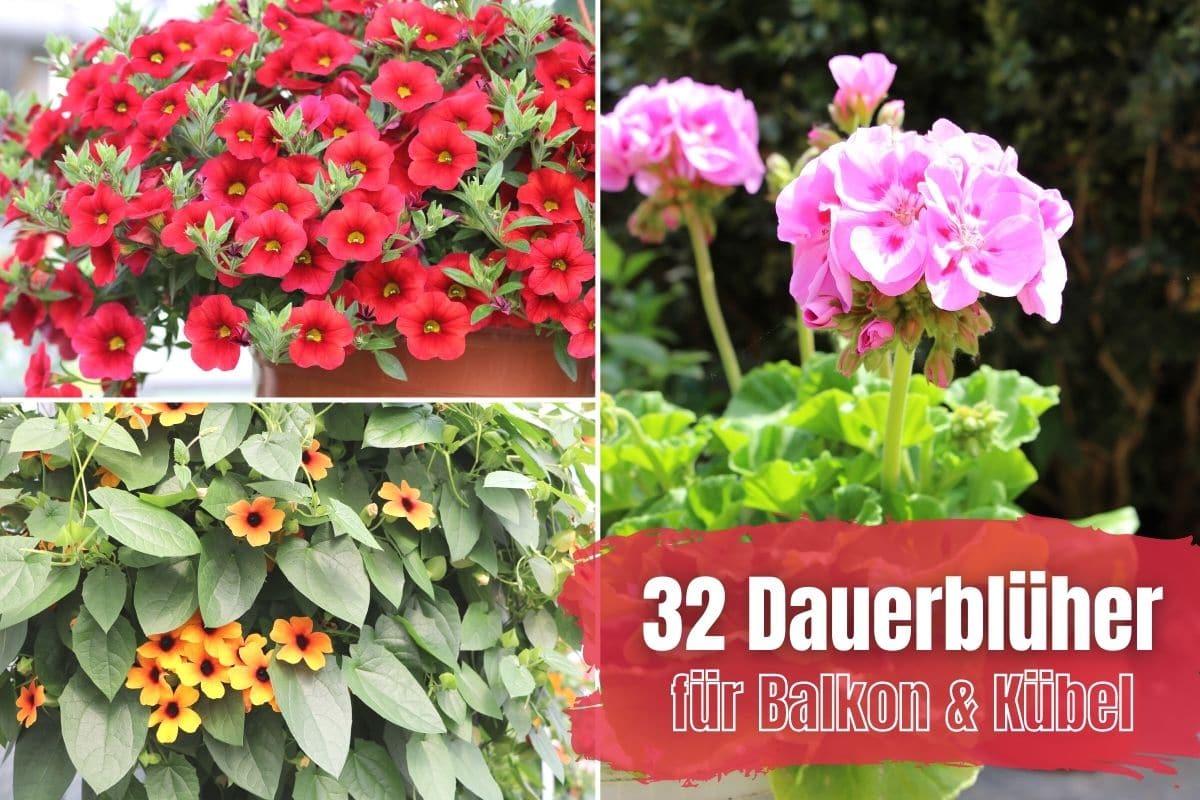Dauerblüher für Balkon und Terrasse