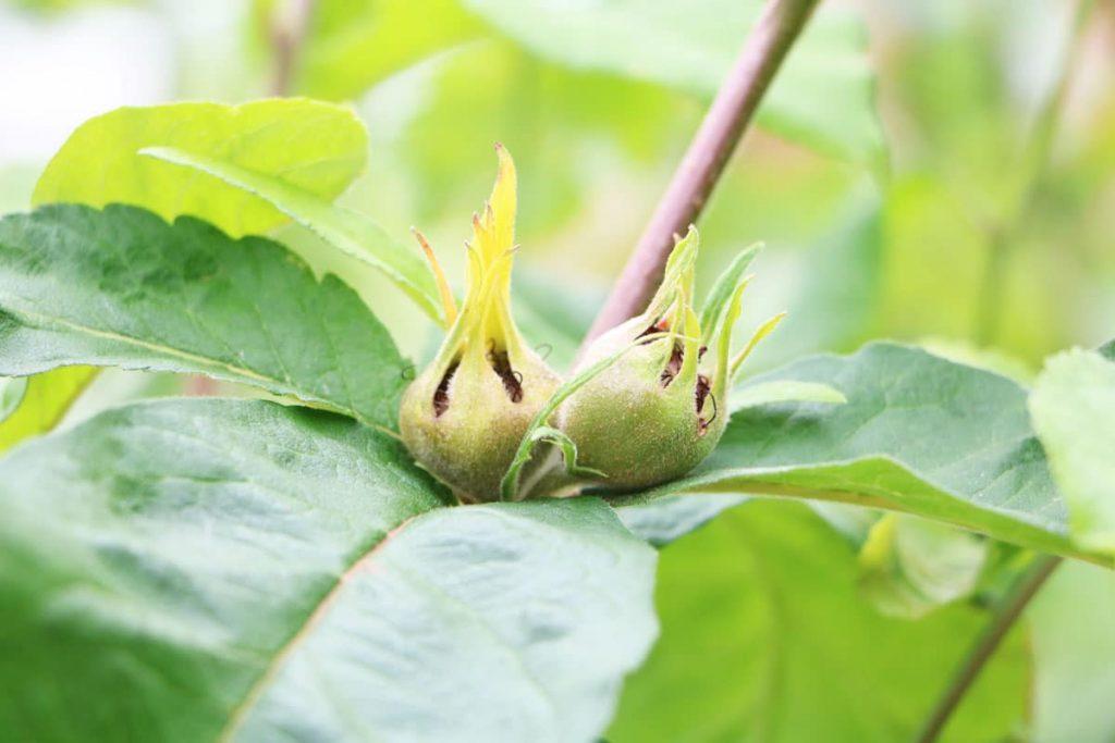 Echte Mispel - Mespilus germanica