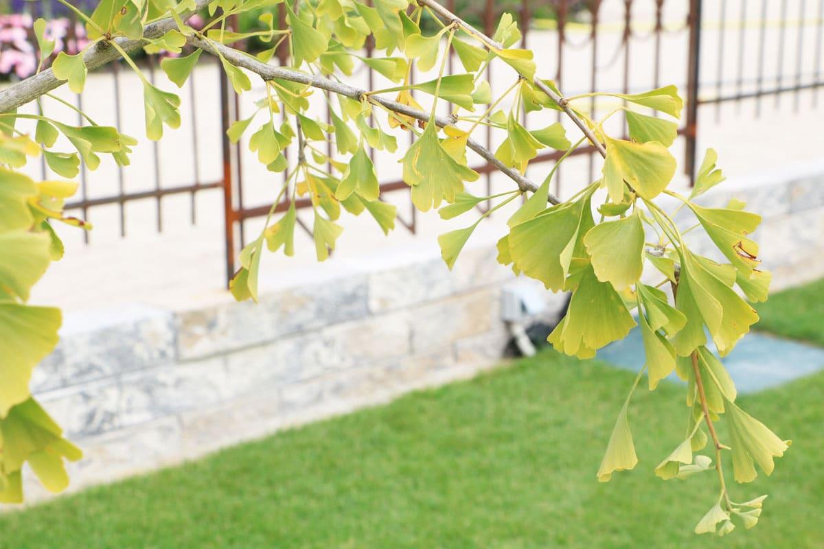 Gartenbäume - Ginkgo