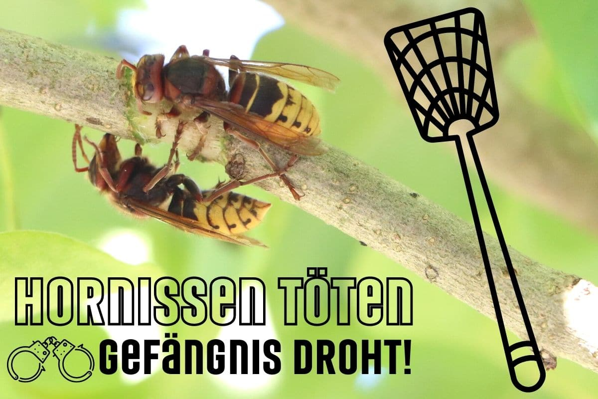 Hornissen töten ist verboten
