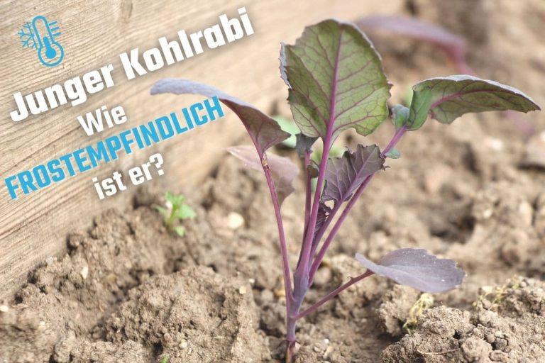 Kohlrabi-Jungpflanze im Beet