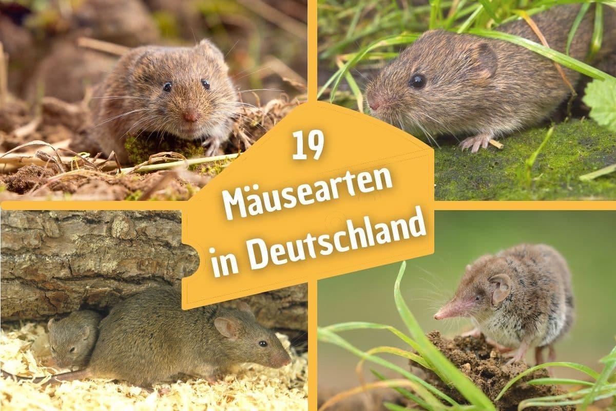 Mäusearten in Deutschland