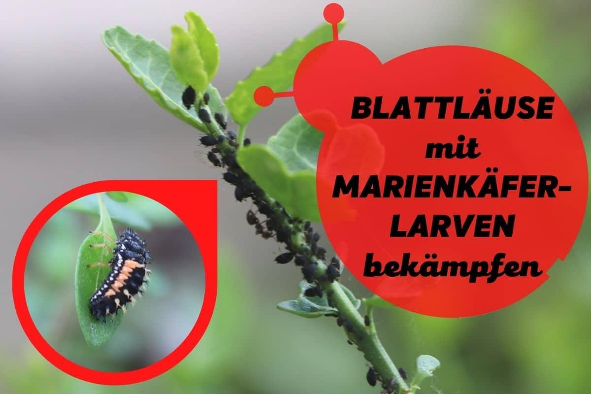 Marienkäferlarven gegen Blattläuse einsetzen