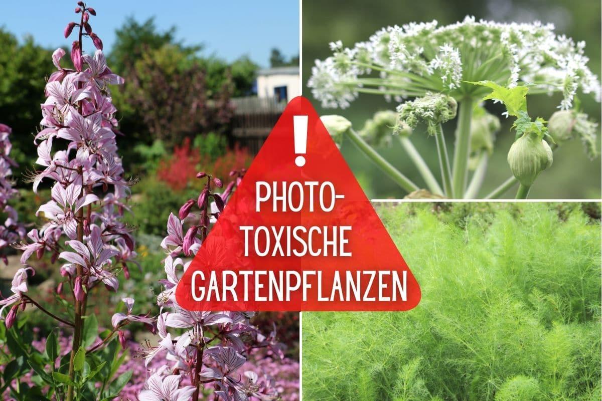 Phototoxische Pflanzen im Garten