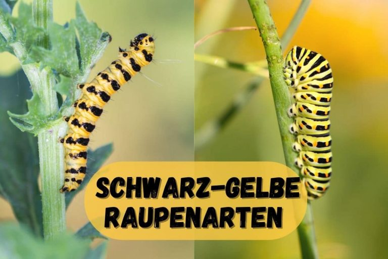 Schwarz-gelbe Raupen