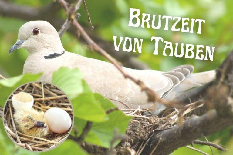 Brutzeit von Tauben - Taube im Nest