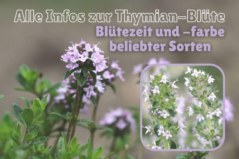 Thymian-Blüten - Thymus vulgaris und Thymus pulegioides