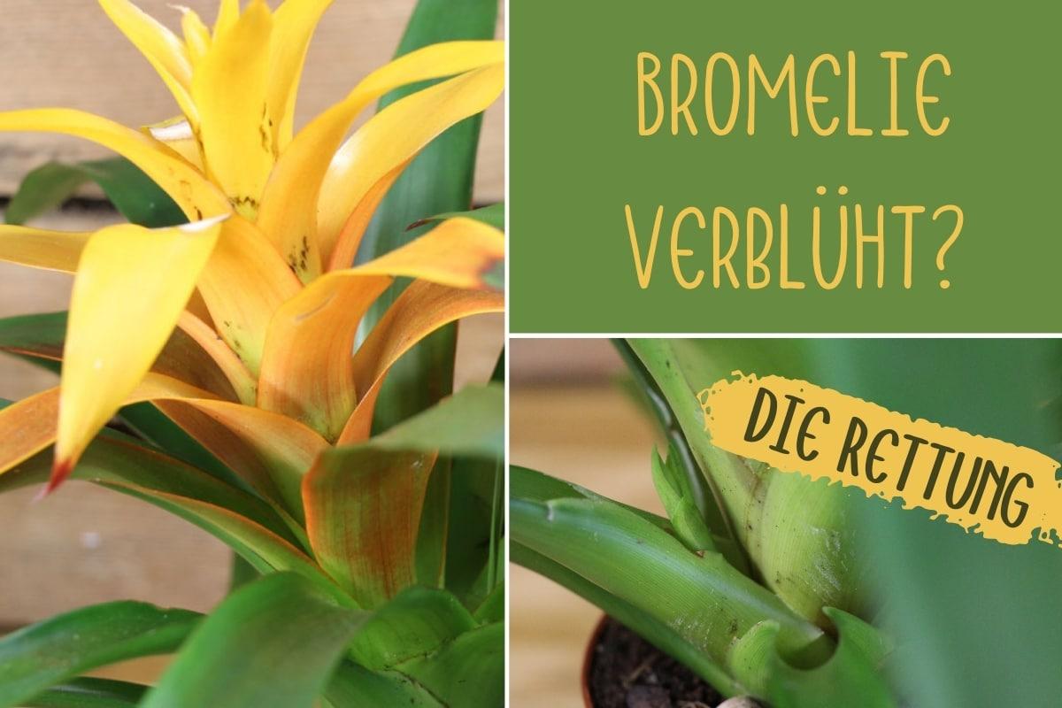 Bromelie verblüht - Titel