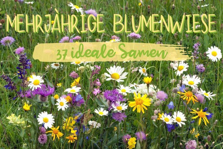 Samen für einen mehrjährige Blumenwiese - Titel