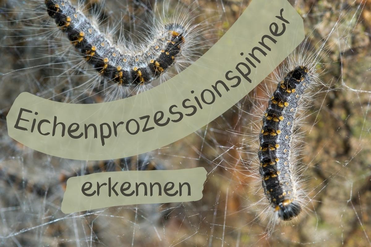 Eichenprozessionsspinner erkennen - Titel