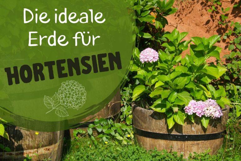ideale Erde für Hortensien - Titel