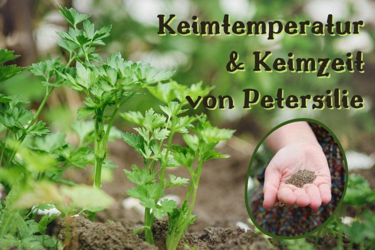 Keimtemperatur und Keimzeit von Petersilie - Titel