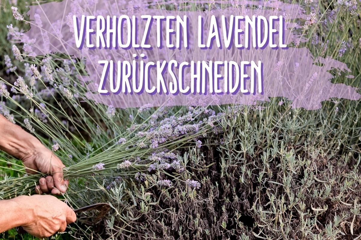 verholzten Lavendel schneiden - Titel