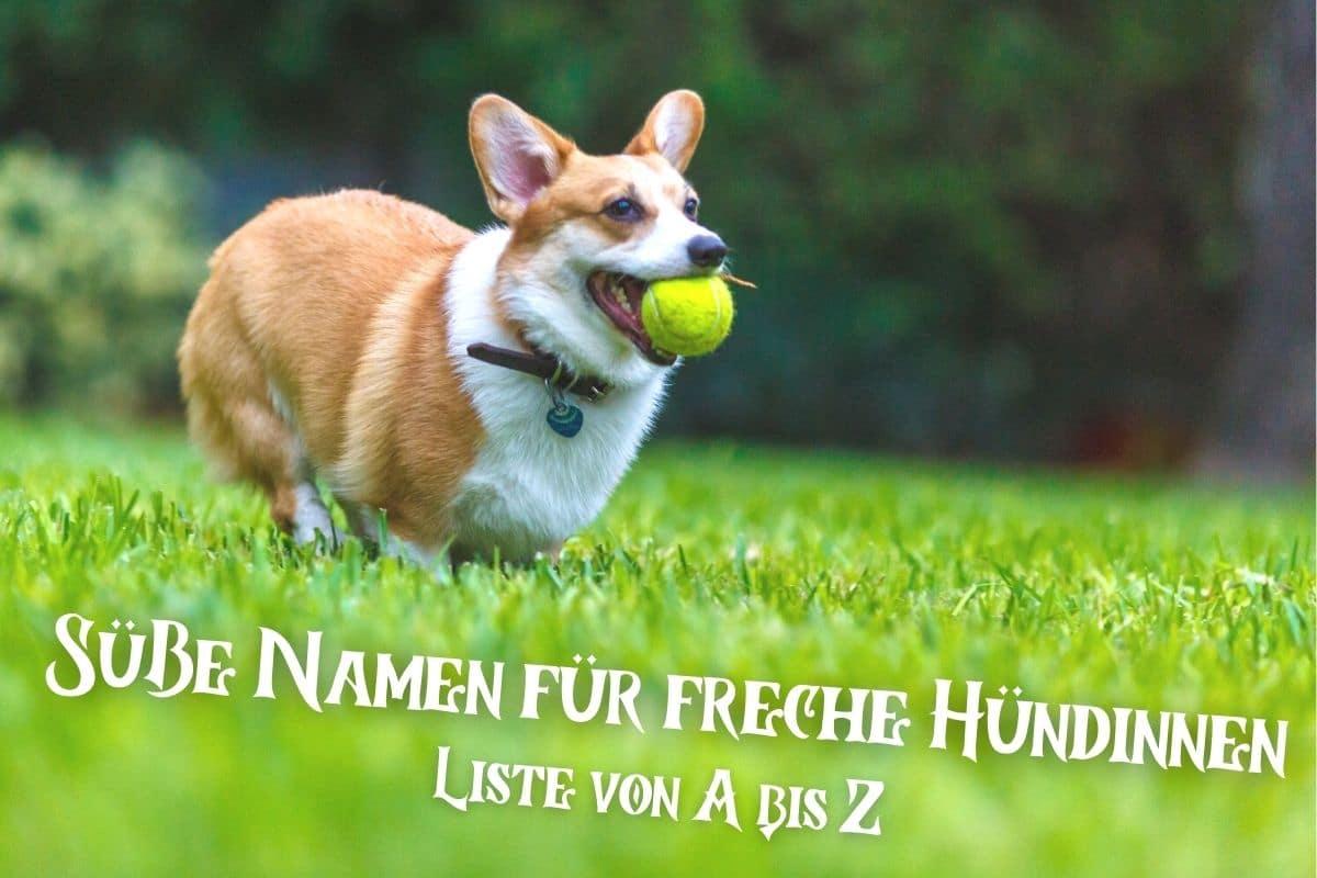 Süße und freche weibliche Hundenamen - Weiblicher Corgi spielt mit Ball
