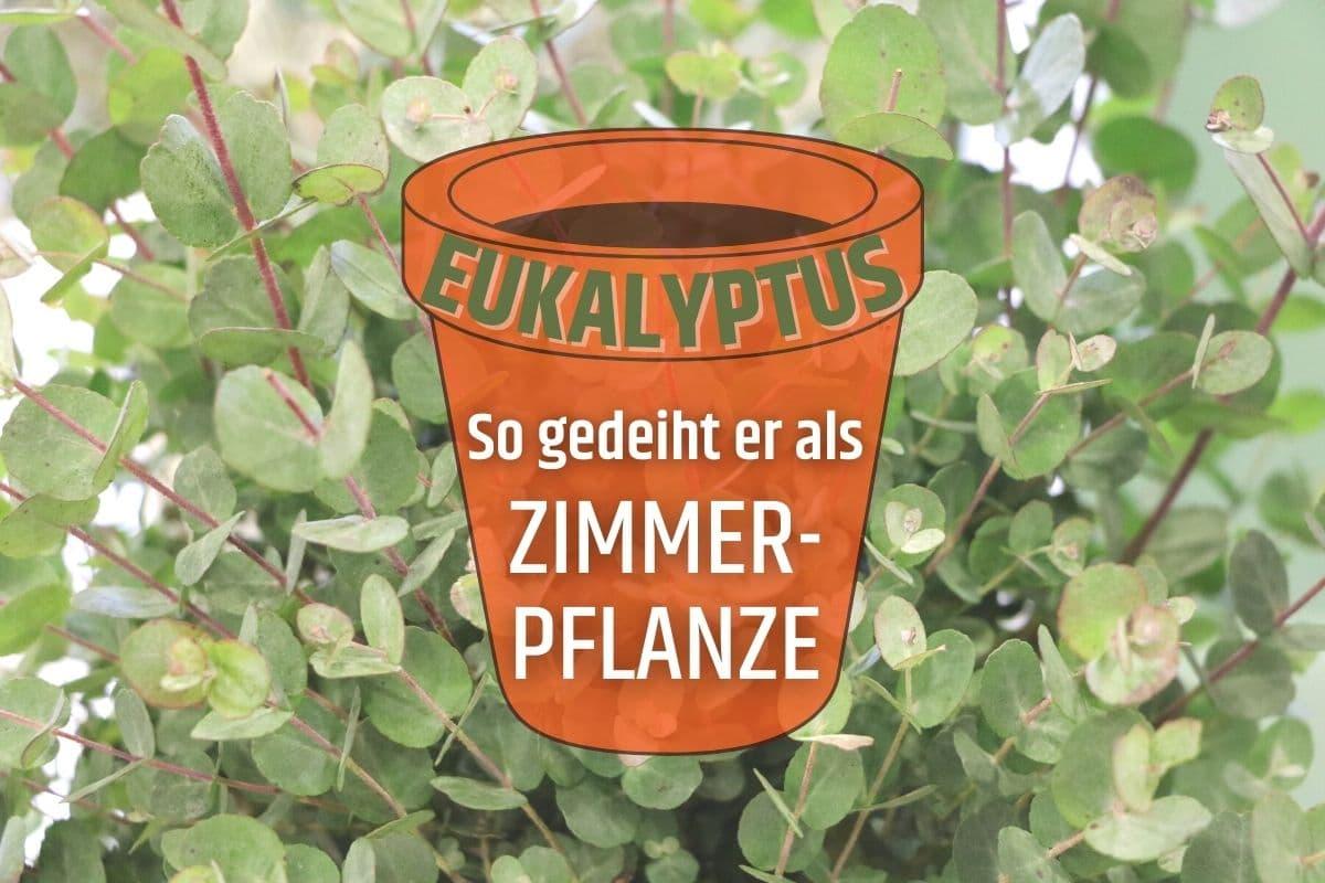 Eukalyptus als Zimmerpflanze