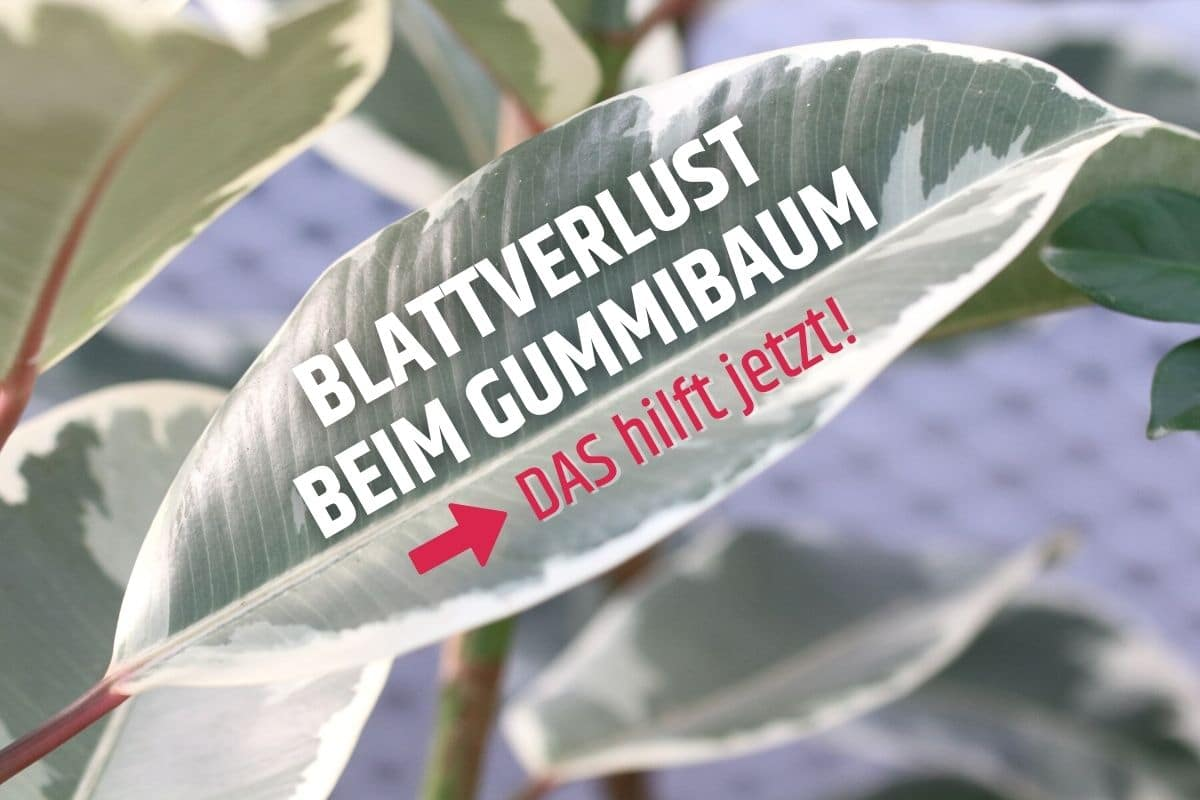 Gummibaum verliert Blätter