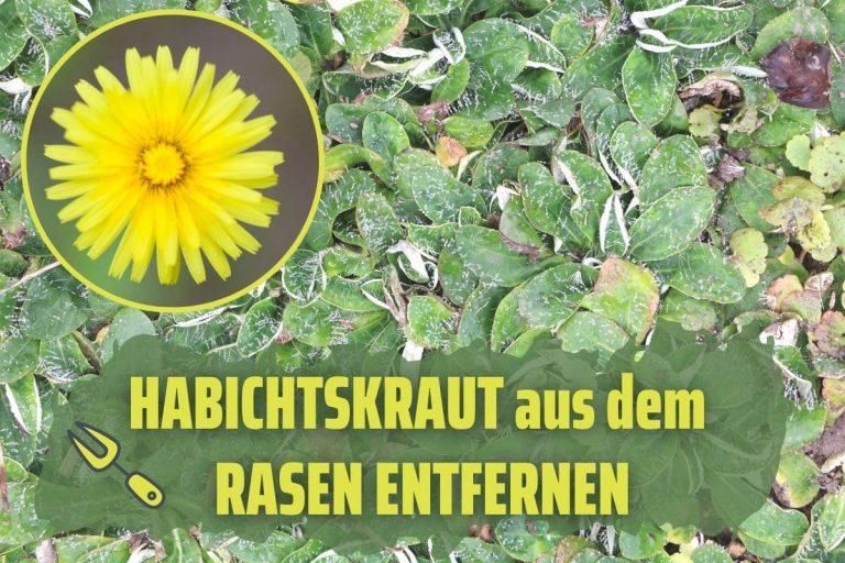 Habichtskraut im Rasen bekämpfen