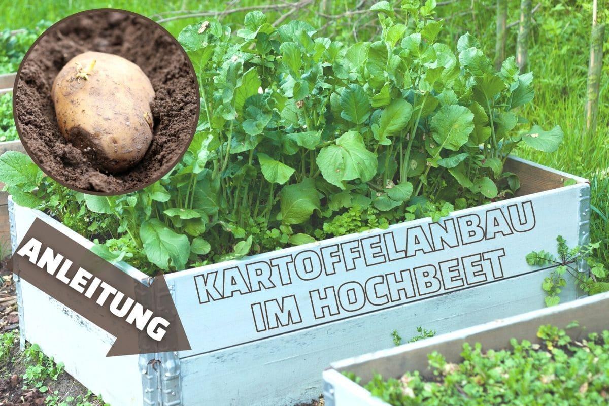 Kartoffeln im Hochbeet anbauen