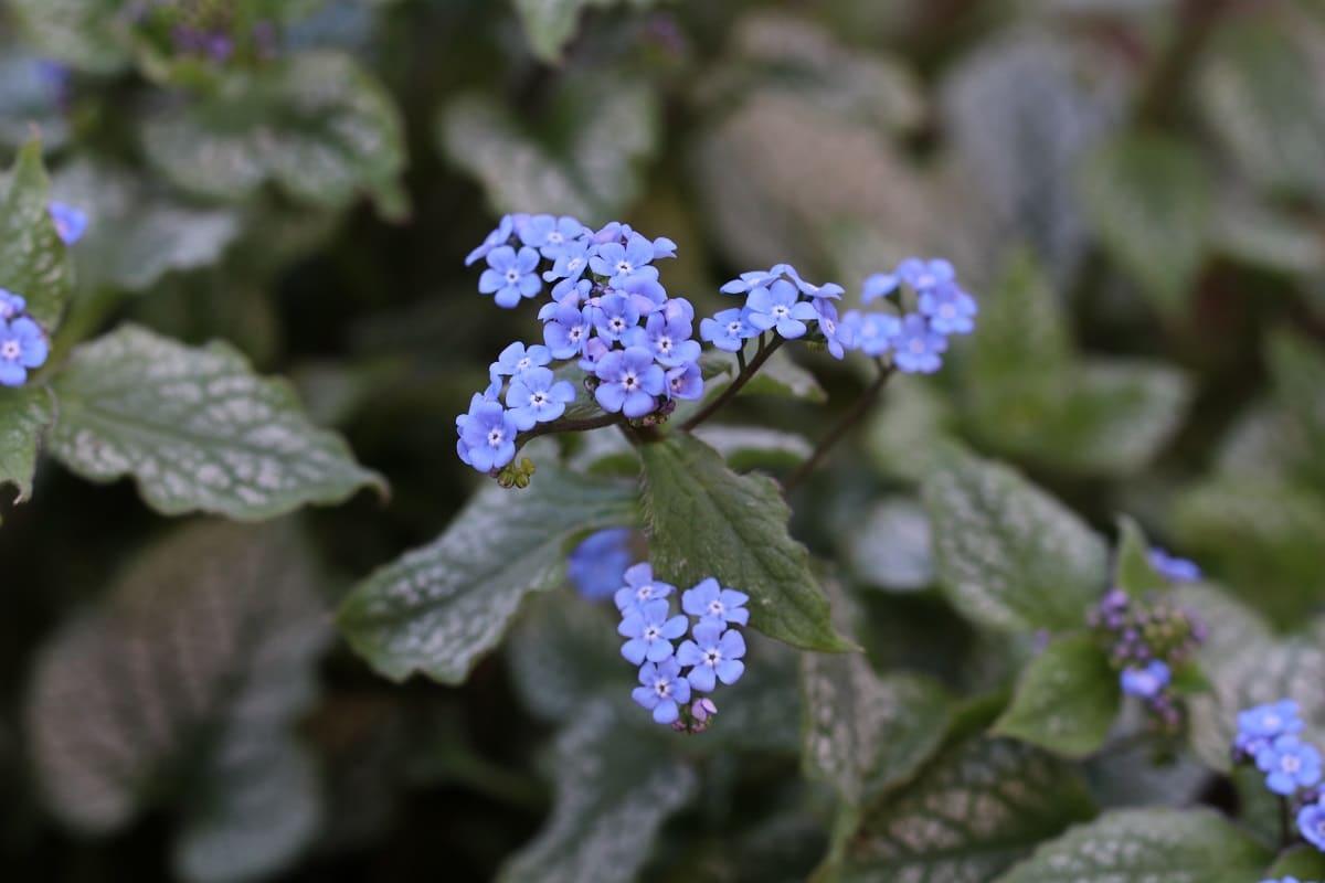 Kaukasusvergissmeinnicht - Brunnera macrophylla