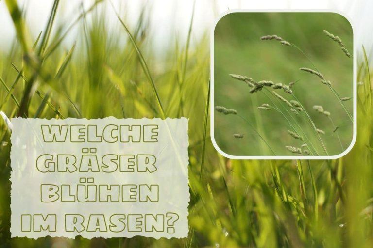 Rasen blüht - Welche Gräser blühen im Rasen