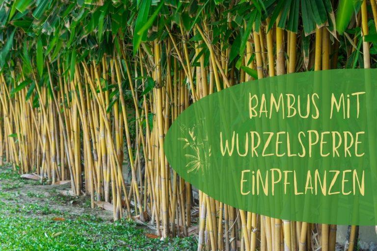 Bambus mit Wurzelsperre pflanzen - Titel