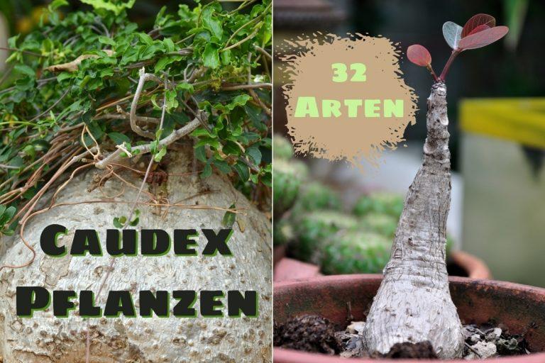Caudex-Pflanzen - Titel