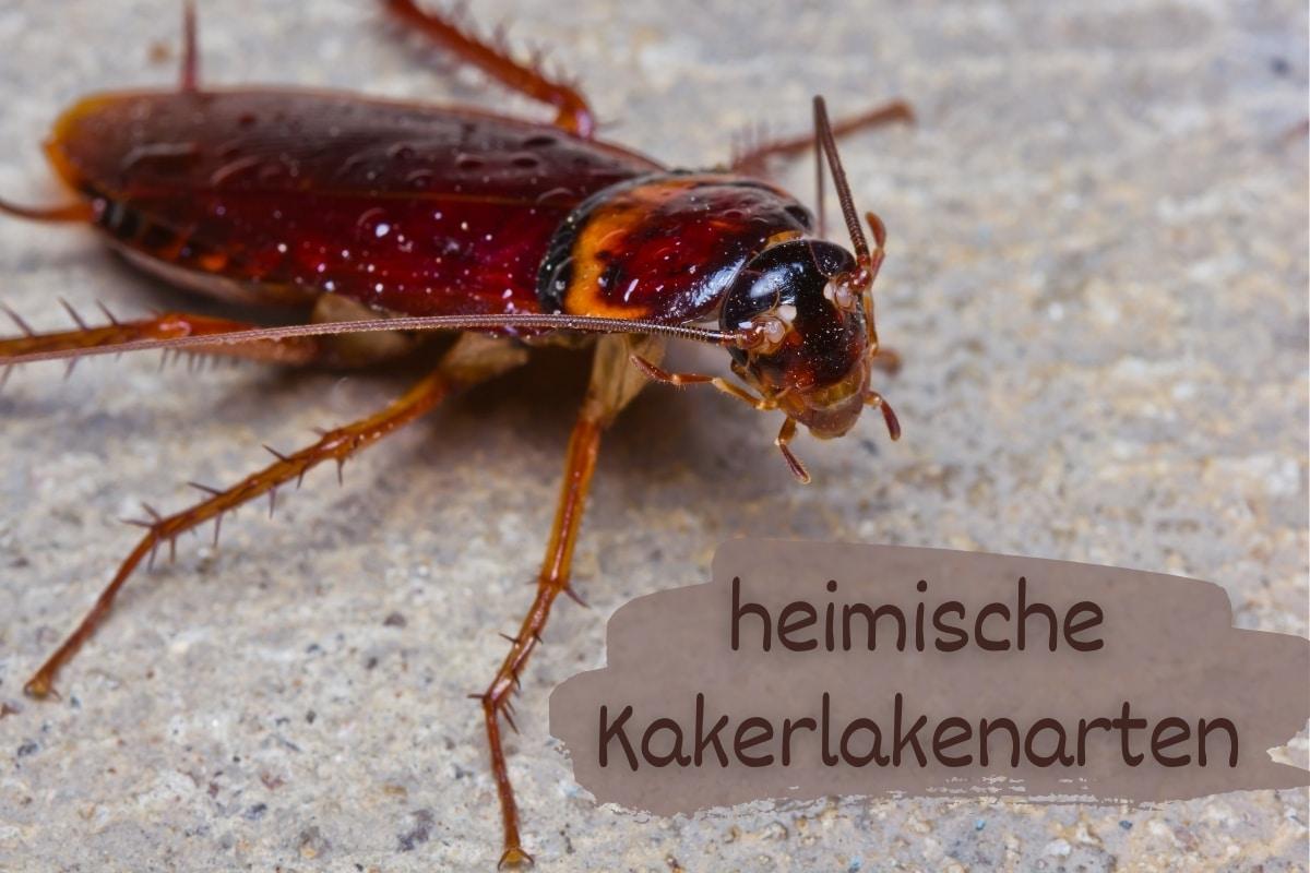 Kakerlakenarten - Titel