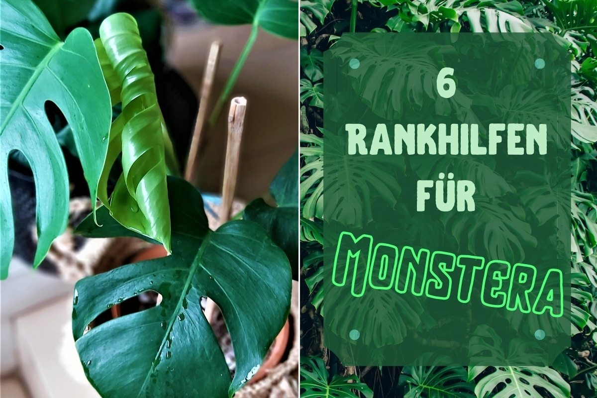 Rankhilfen für Monstera - Titel