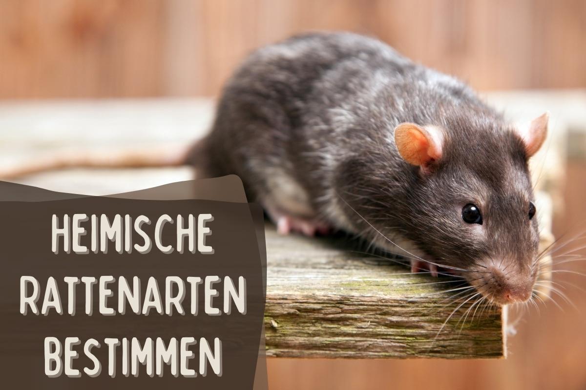 heimische Rattenarten bestimmen - Titel