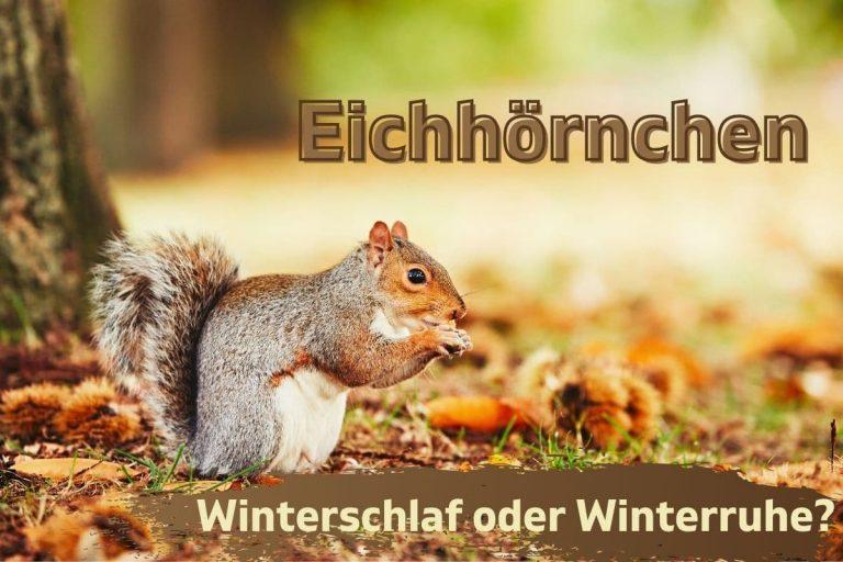 Halten Eichhörnchen Winterschlaf oder Winterruhe?