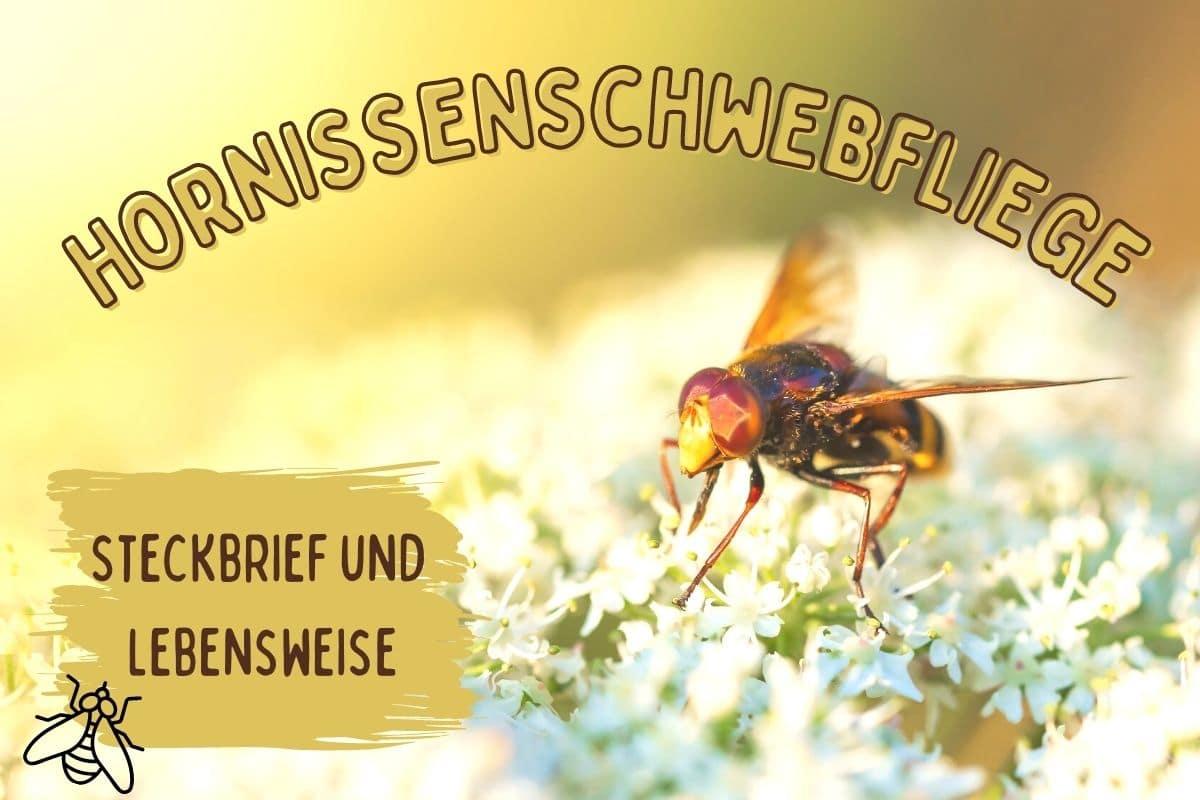 Streckbrief und Lebensweise der Hornissenschwebfliege