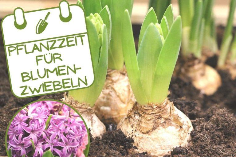 Wann Blumenzwiebeln pflanzen - Hyazinthe