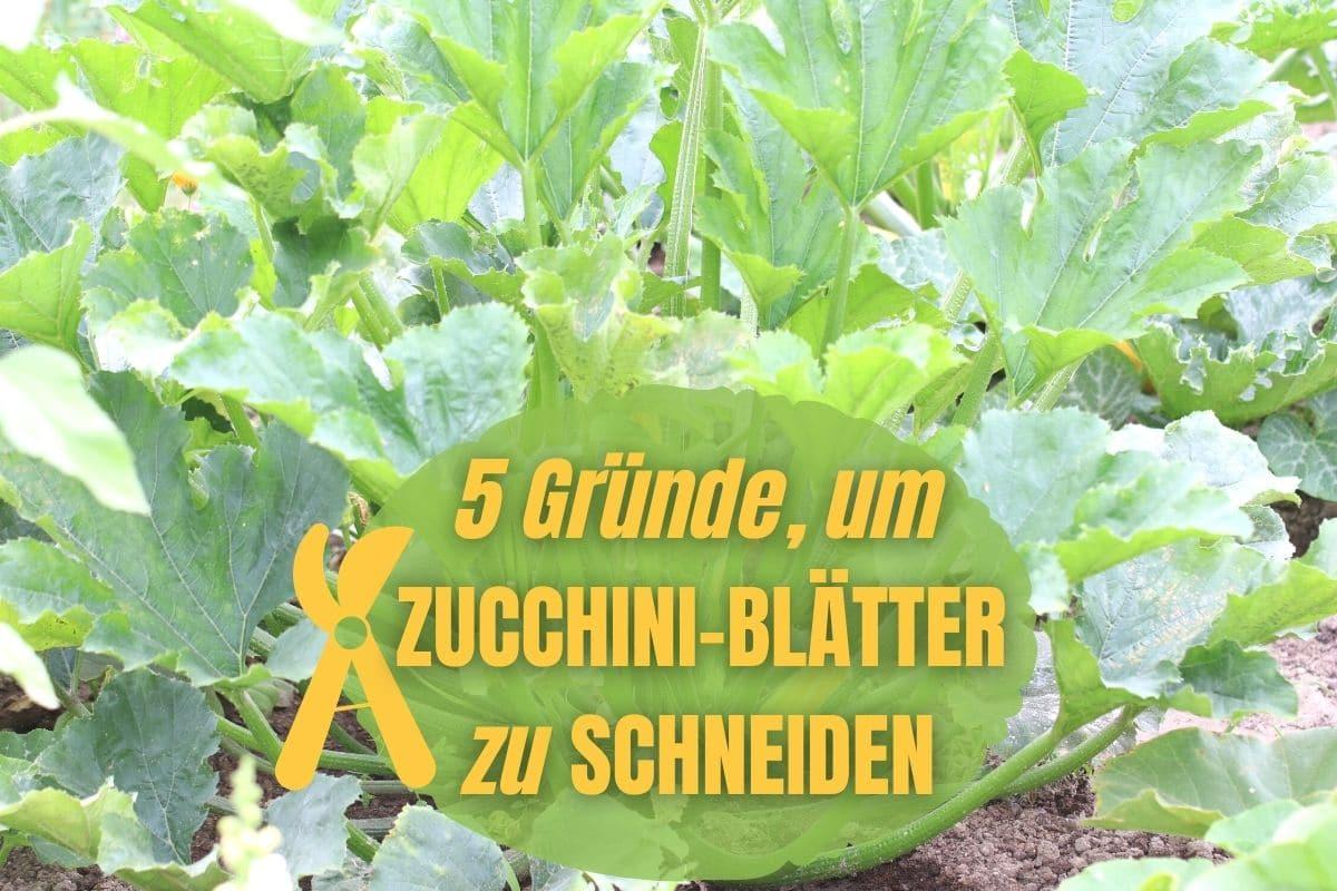 Zucchini-Blätter abschneiden