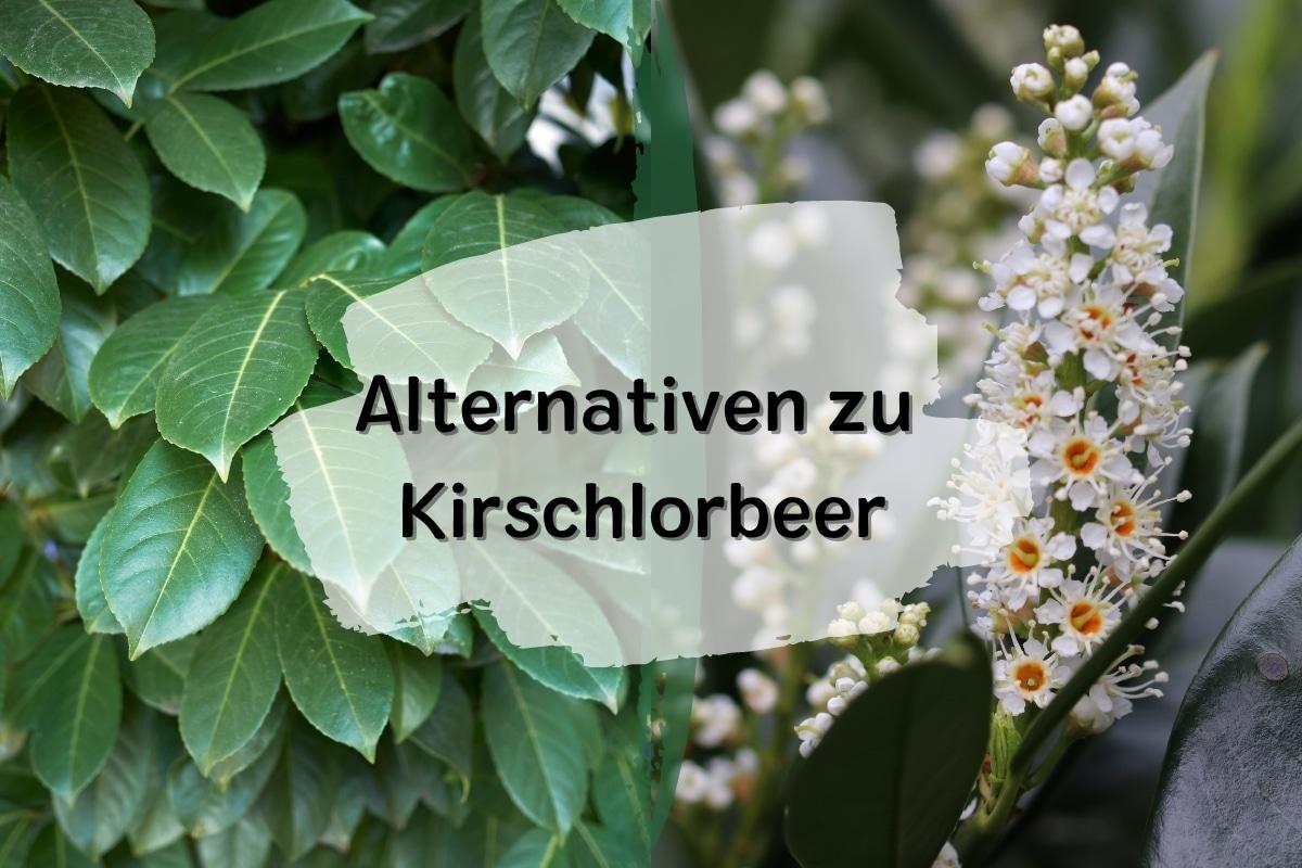 15 schöne Alternativen zu Kirschlorbeer - Titelbild