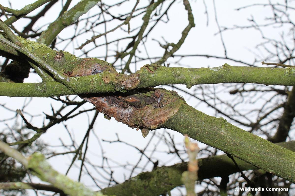 Baumkrebs durch das Aneinanderscheuern von Zweigen