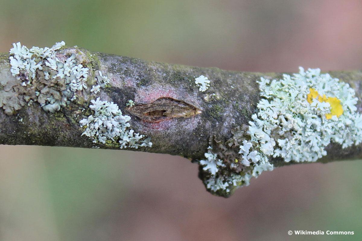 erste Anzeichen von Obstbaumkrebs