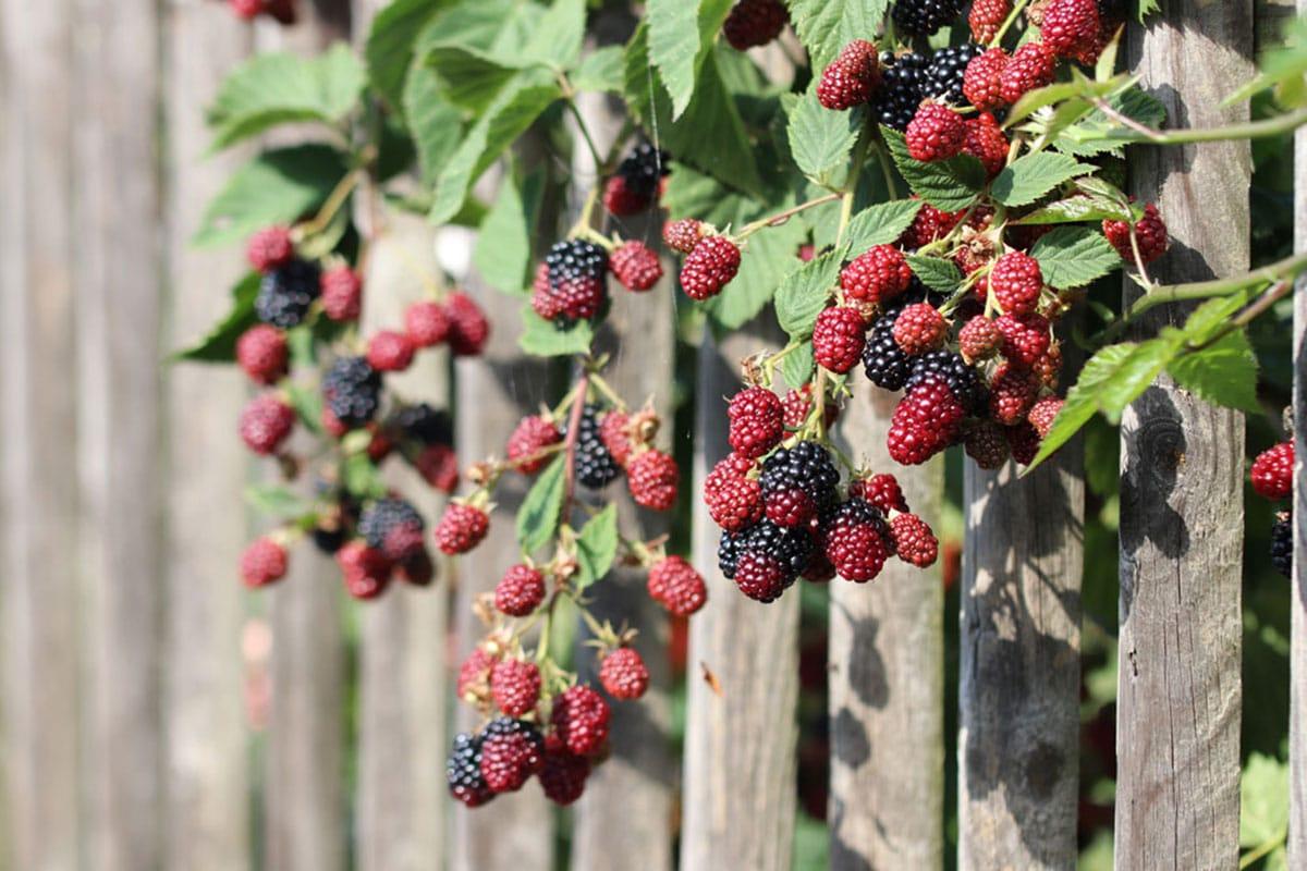 Brombeeren (Rubus fruticosus agg.)