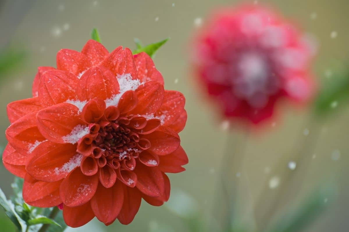 Dahlien & Schnee