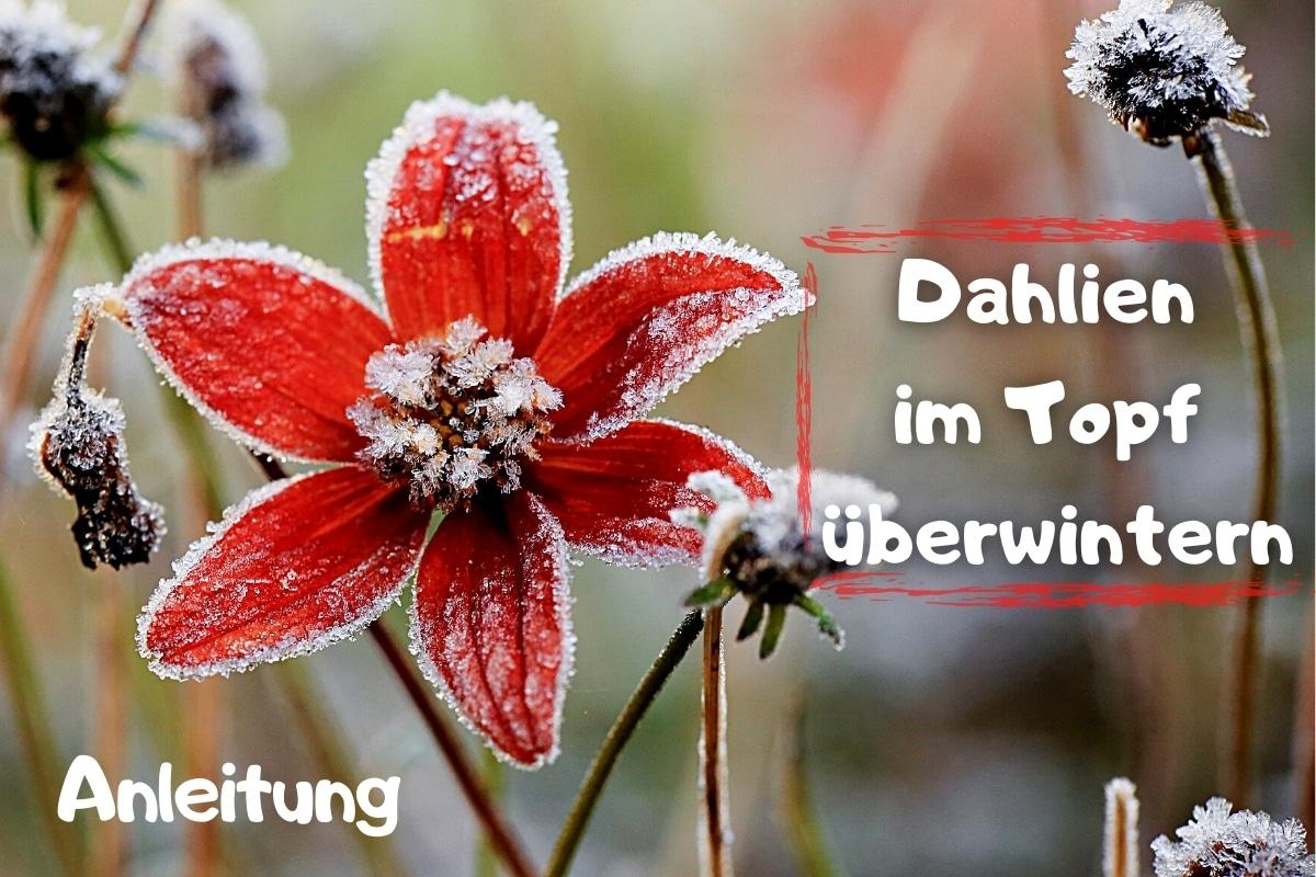 Dahlien im Topf überwintern: Anleitung - Titelbild
