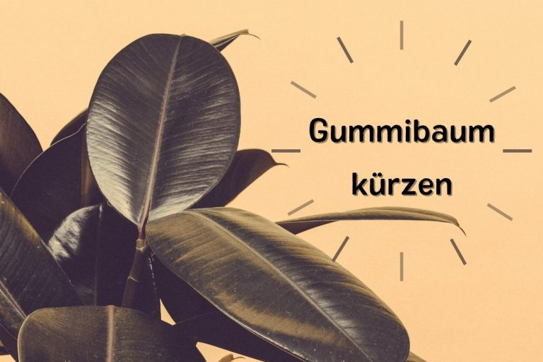 Gummibaum kürzen: so verzweigt er sich ideal - Titelbild