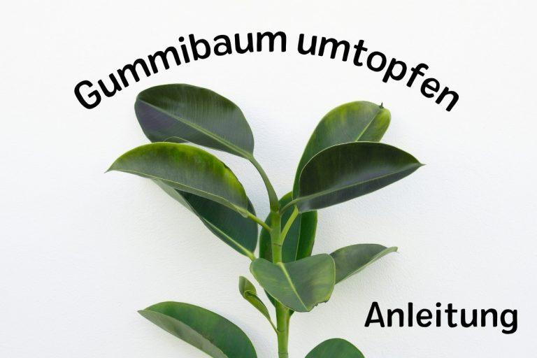 Gummibaum umtopfen: wann und wie? | Anleitung - Titelbild